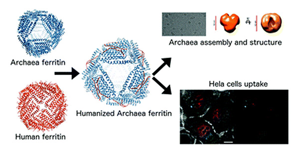 Humanized-archaeal-ferritin